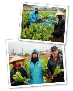 女池菜収穫の様子