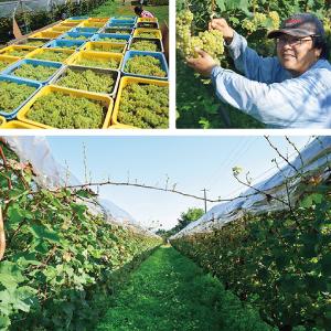 栃尾農園株式会社 ブドウ栽培